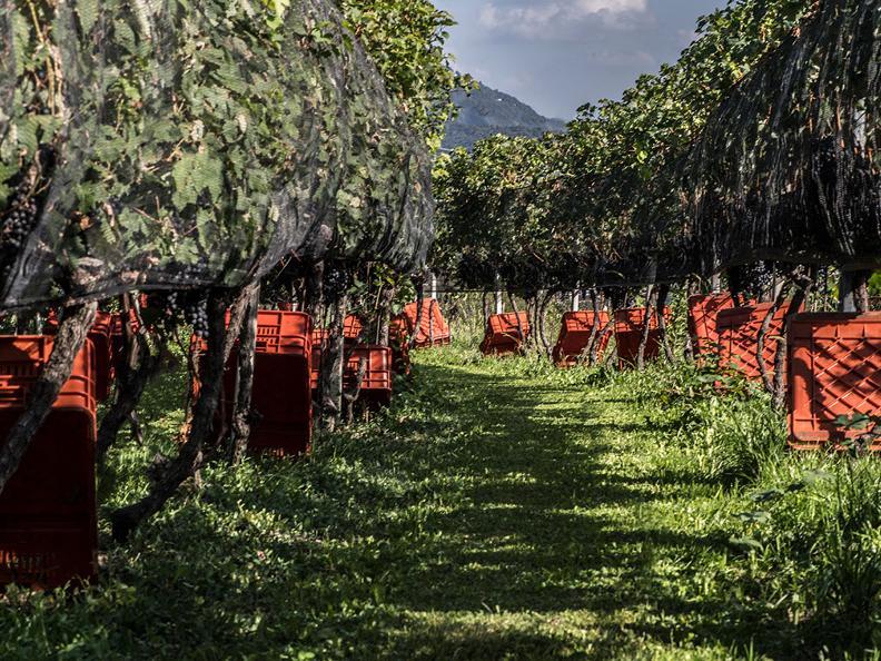 Image 9 - Vendanges dans la région du Mendrisiotto